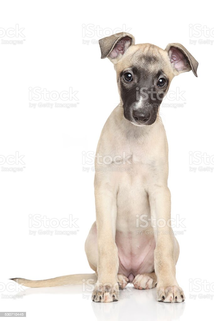 Whippet puppy portrait on white background stock photo