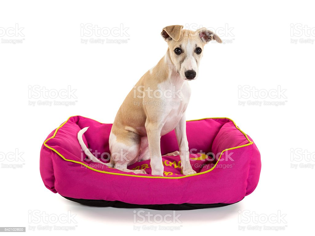 Whippet puppy sitting in dog bed stock photo