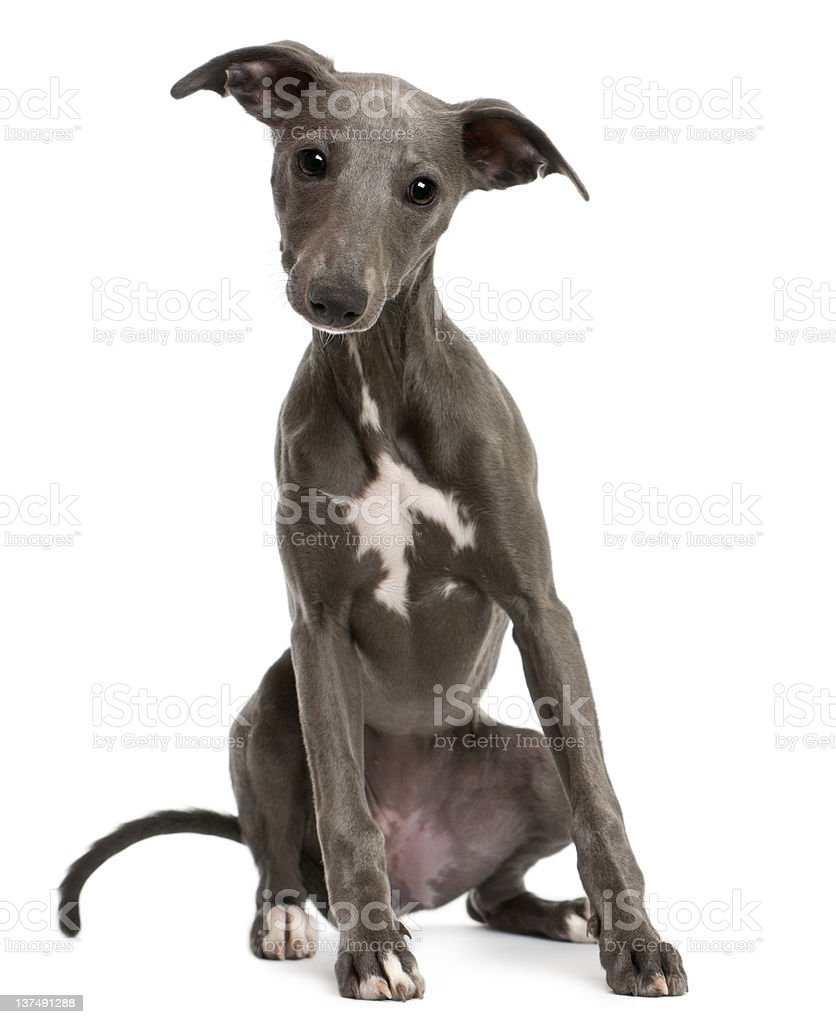 Whippet puppy, sitting in front of white background royalty-free stock photo