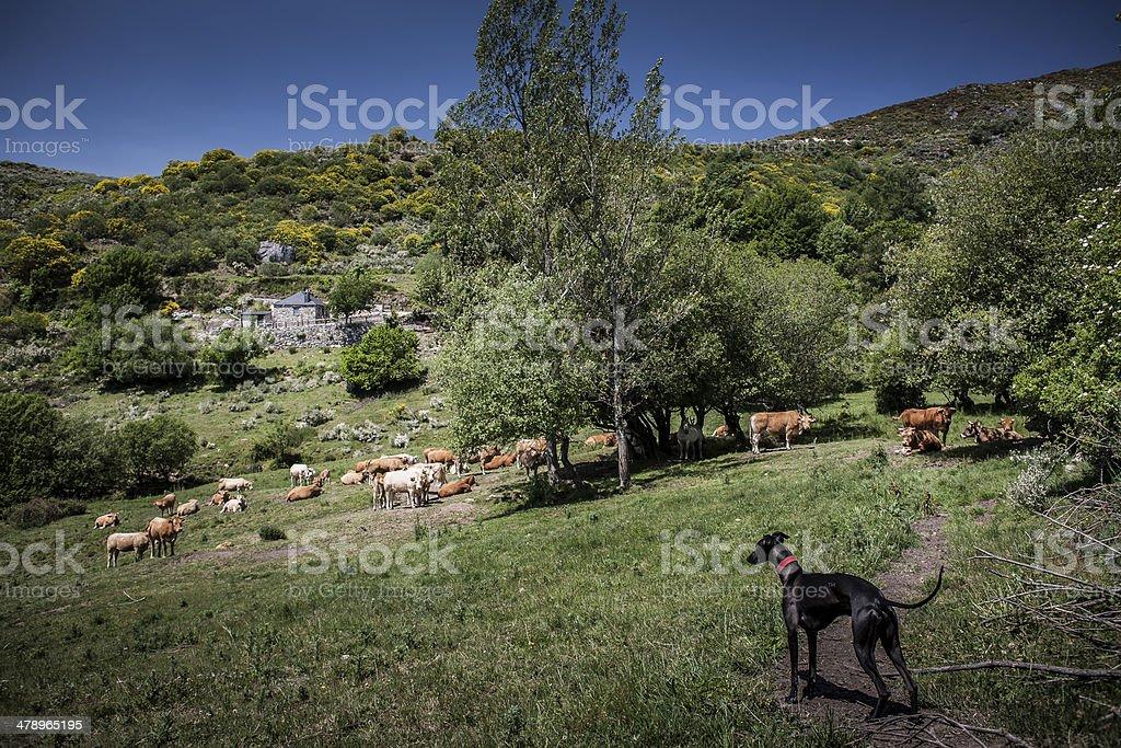 Whippet shepherd stock photo