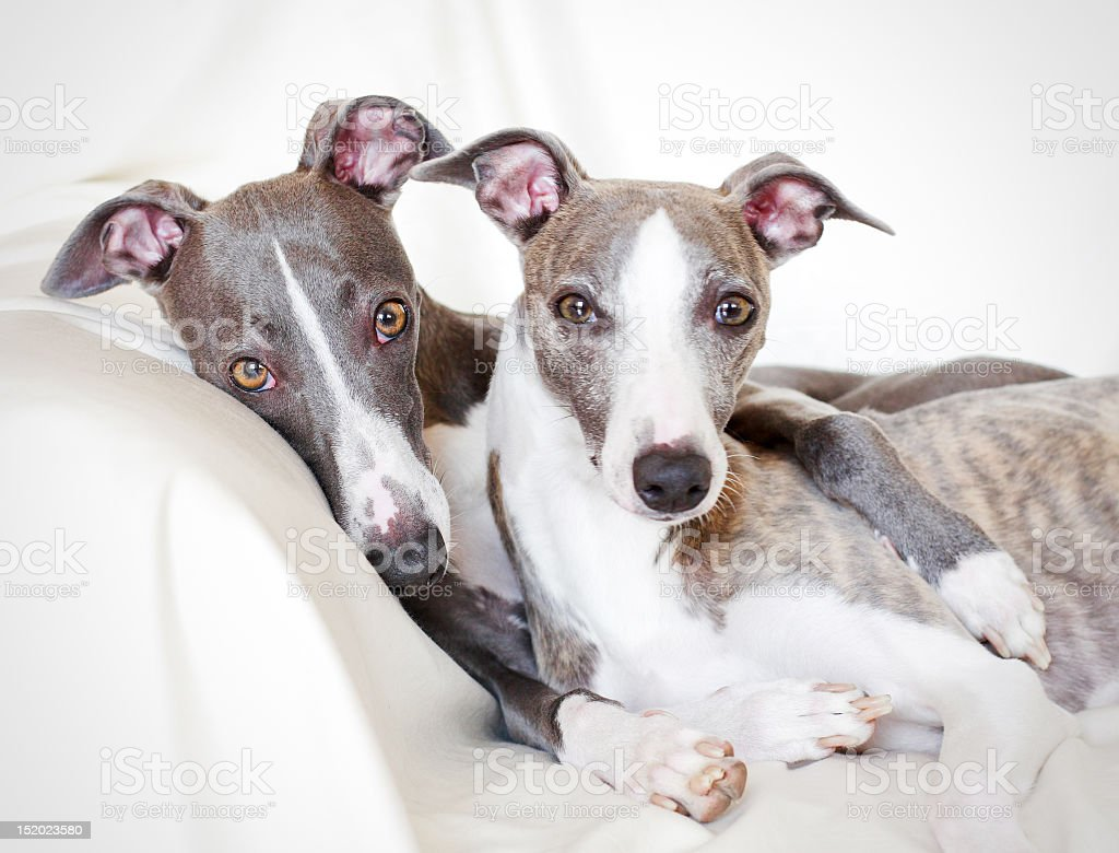 Whippets friendship royalty-free stock photo