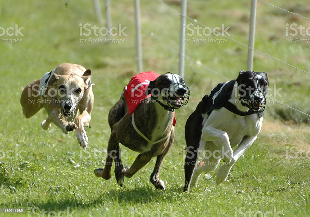 whippets stock photo