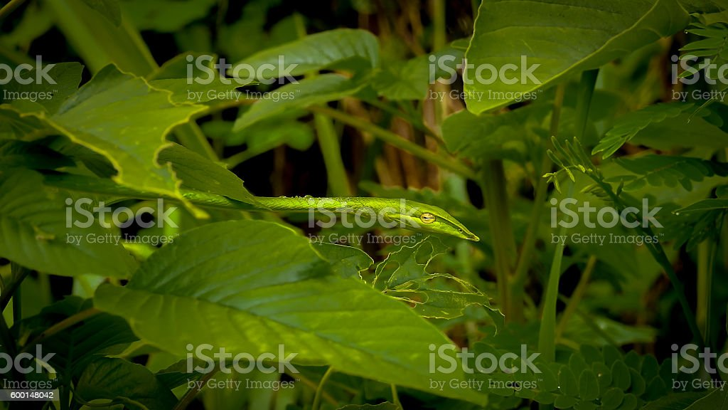 Whipsnake and leaves with metallic color style and dark soften tone stock photo