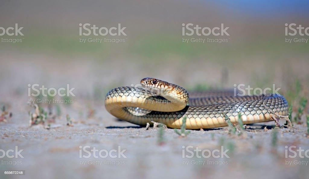 whip-snake stock photo
