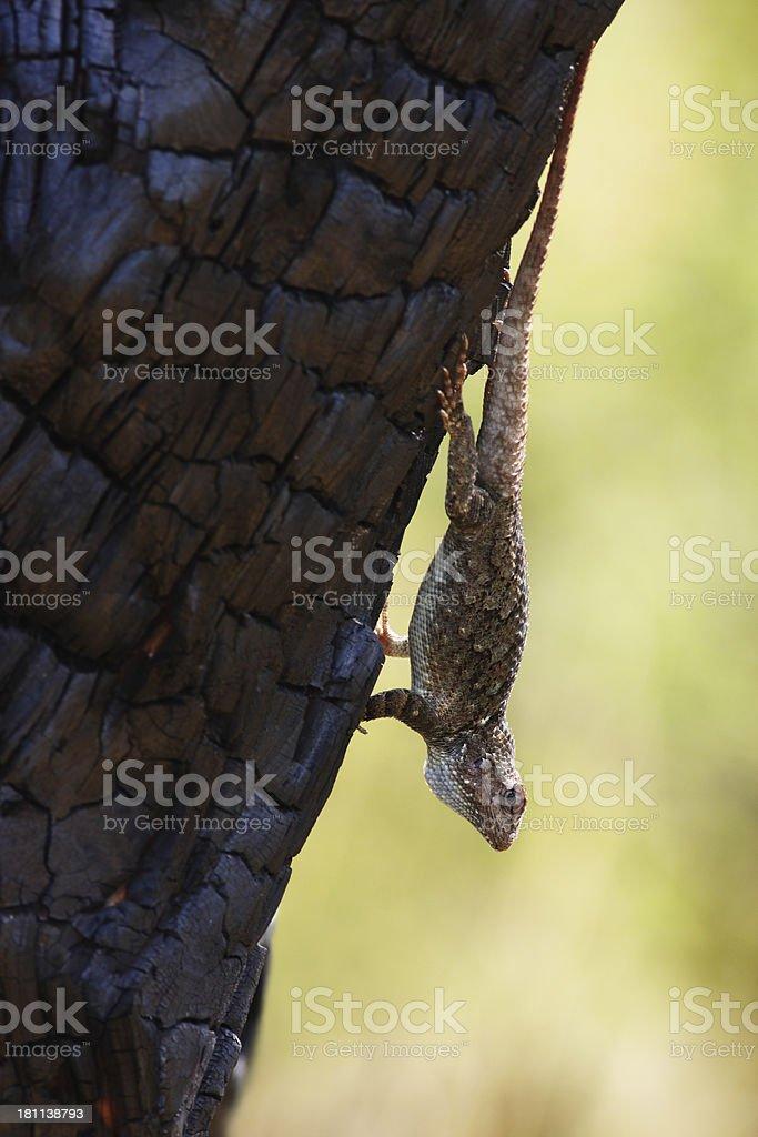 Whiptail Lizard Cnemidophorus Teiidae Racerunner Reptile stock photo