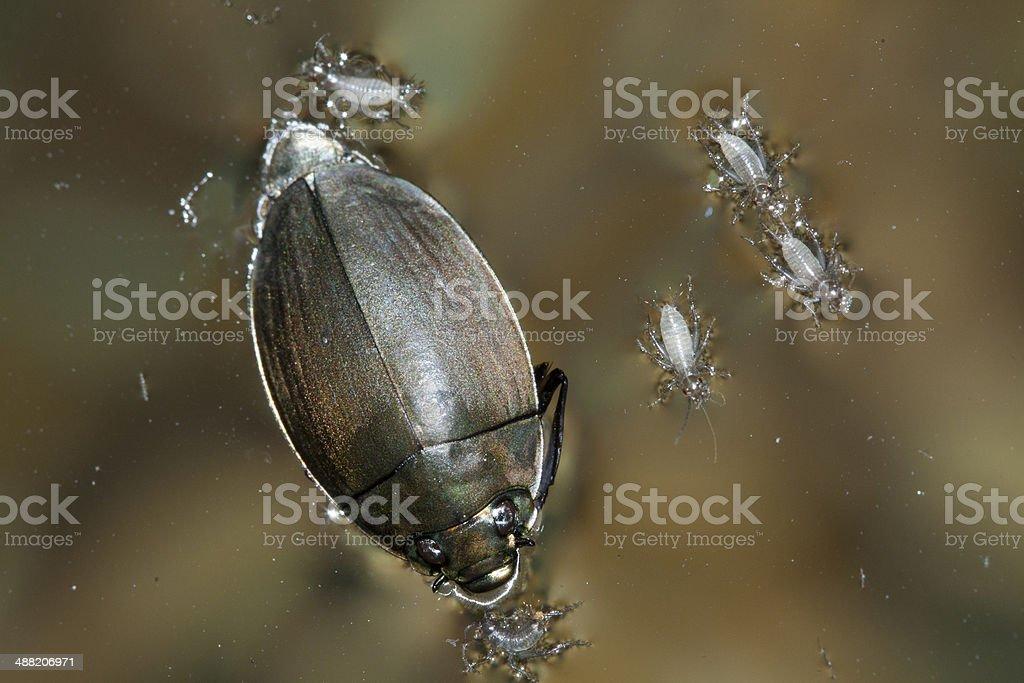 Whirligig Beetles and babies stock photo