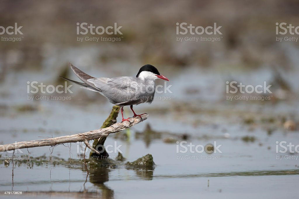 Whiskered tern, Chlidonias hybridus stock photo