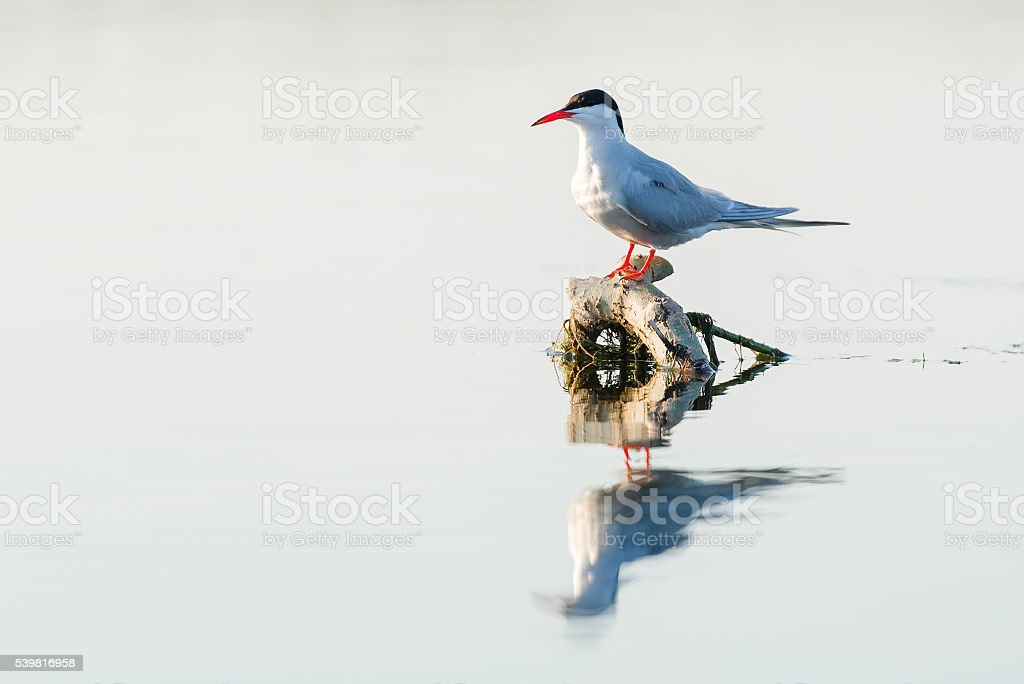 Whiskered tern (Chlidonias hybridus) in natural habitat stock photo