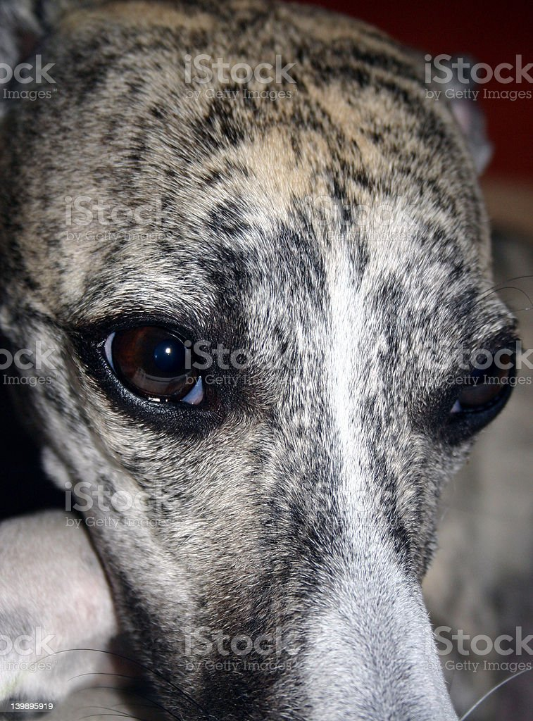 Whisky-greyhound royalty-free stock photo