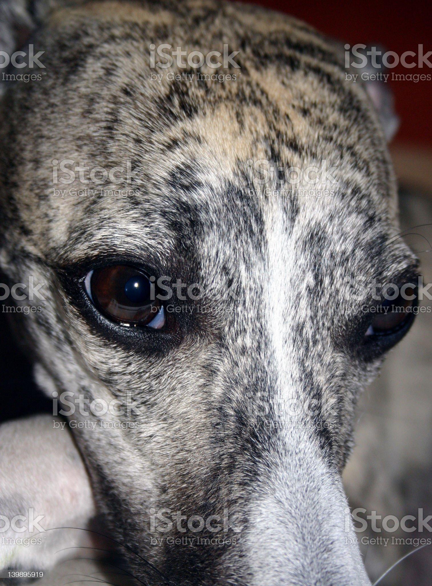 Whisky-greyhound royalty-free stock photo