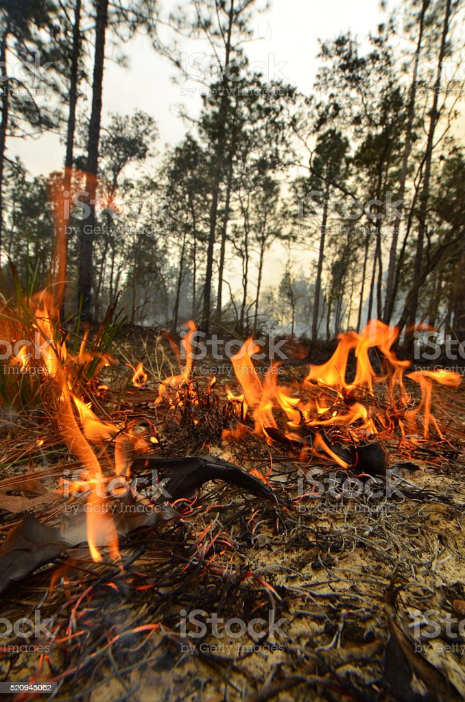 Whispy small flames  moving through a pine forest stock photo