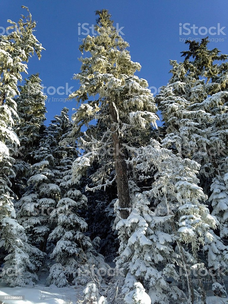 Whistler- Trees in winter stock photo