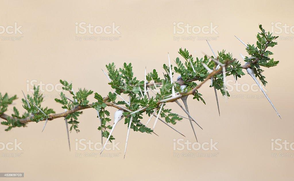 whistling acacia branch stock photo
