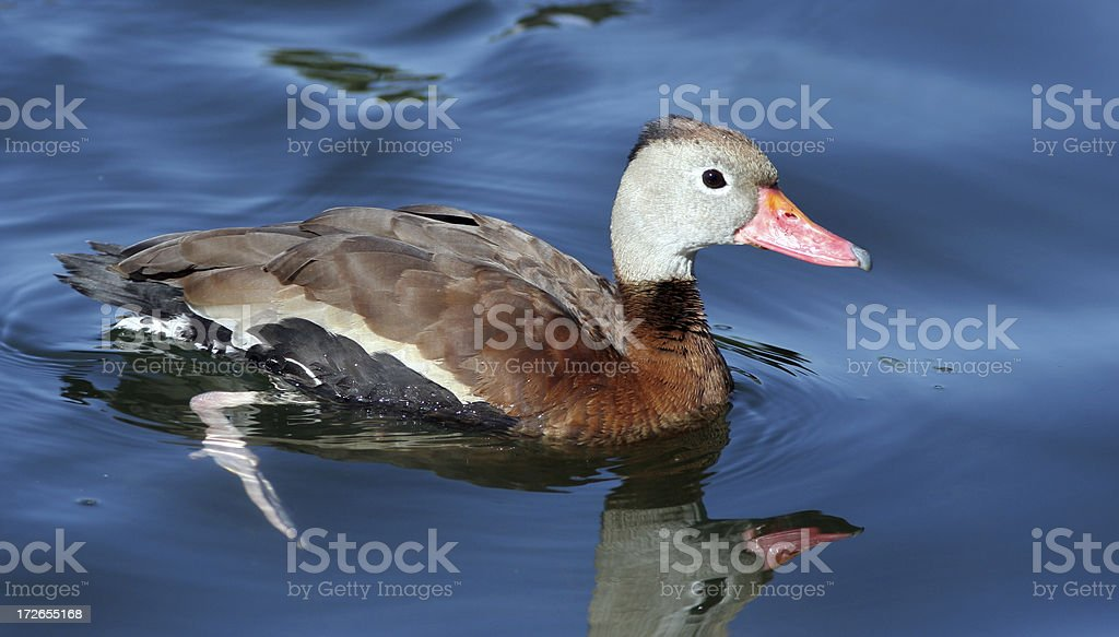 Whistling Duck royalty-free stock photo
