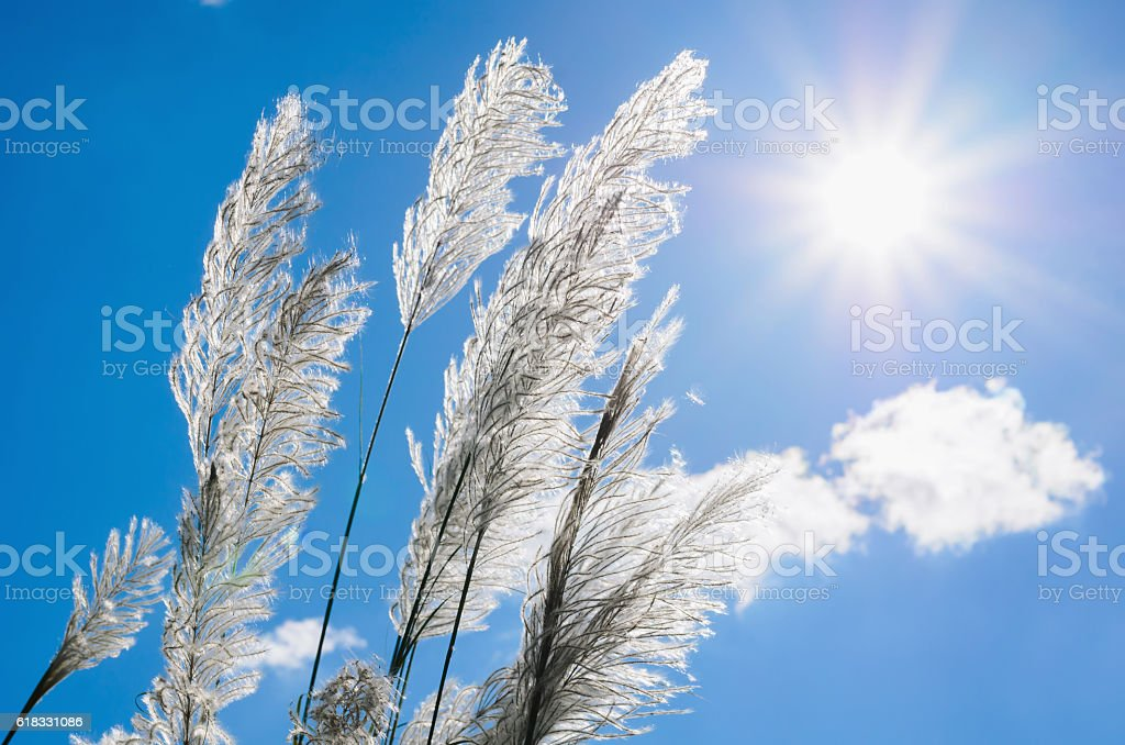 Whit flower grass and sunshie with blue sky background stock photo