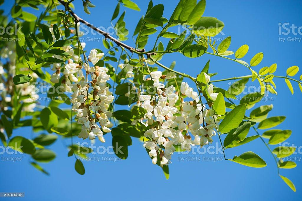 White acacia bloomed stock photo