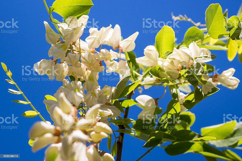 White acacia blooms on the spring sun stock photo