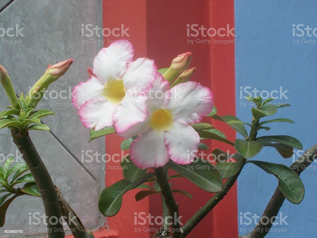 white adenium at the plants stock photo