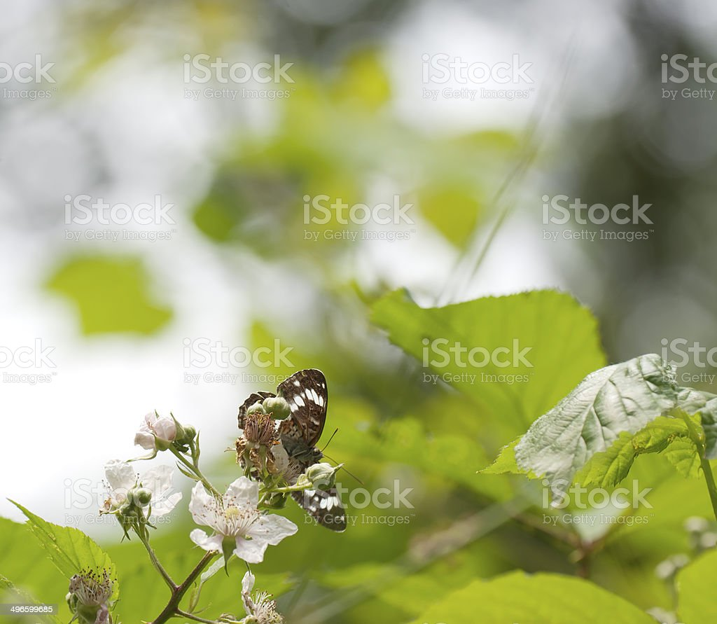White admiral butterfly (Limenits camilla) on bramble royalty-free stock photo