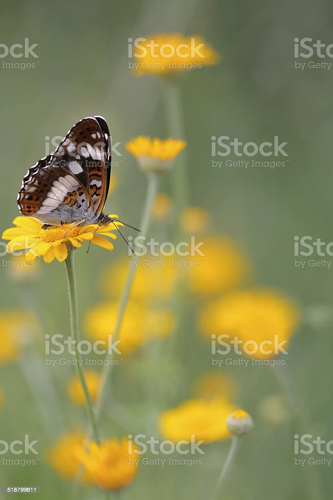 White Admiral butterfly (Limenitis camilla) stock photo