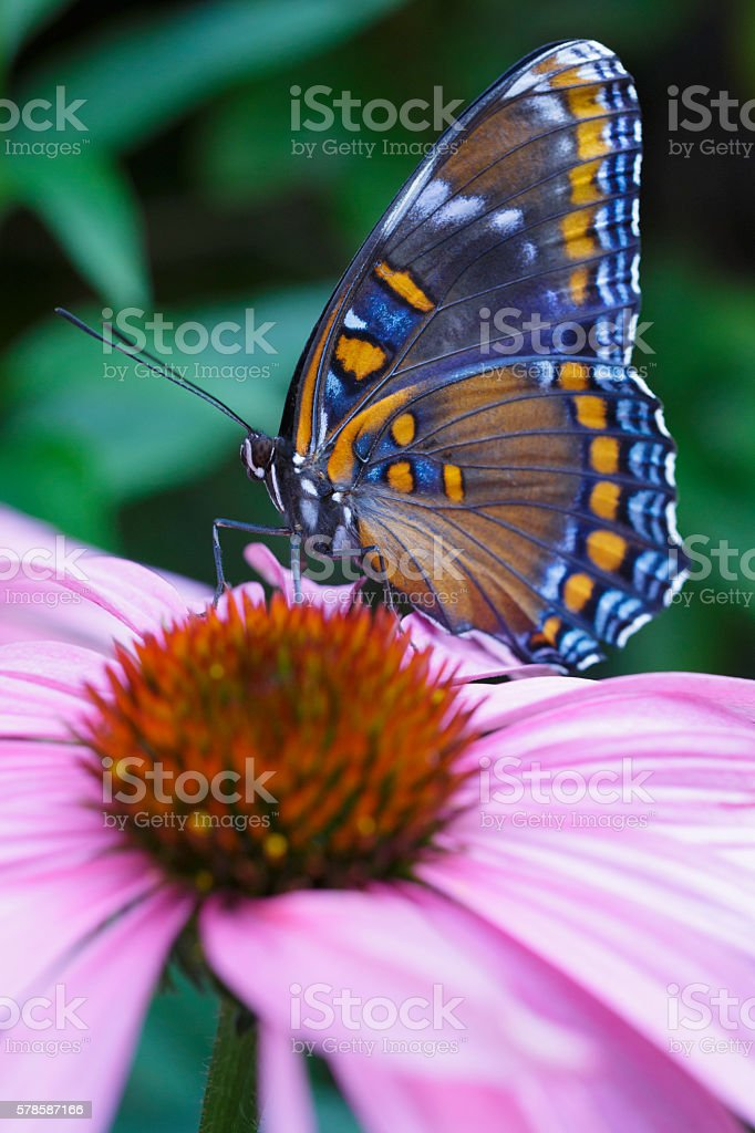 White Admiral Butterfly stock photo