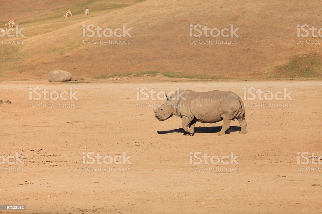 White African rhinoceros, Ceratotherium simum stock photo