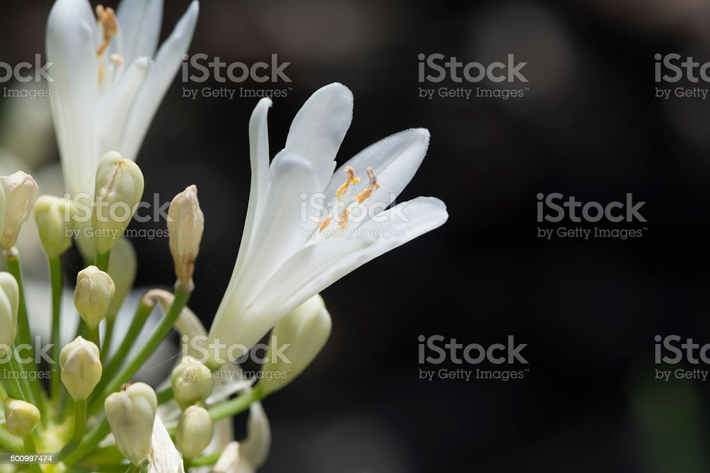 White Agapanthus Flowers stock photo
