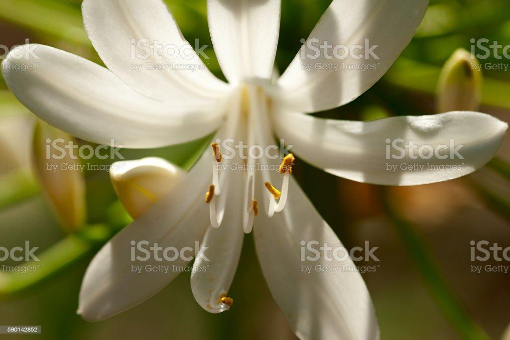 White Agapanthus royalty-free stock photo