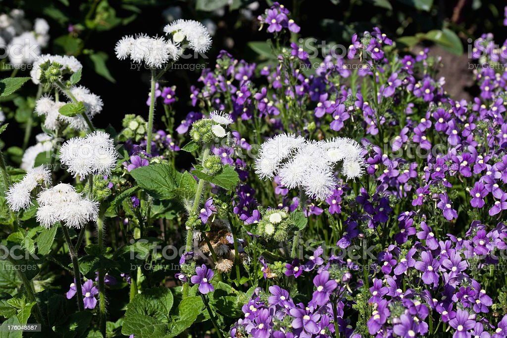 White Ageratum and Purple Nemesia Flower Blossoms stock photo