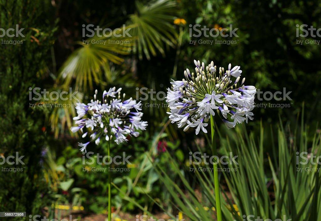 White Allium Flower Head With Dark Garden Background stock photo