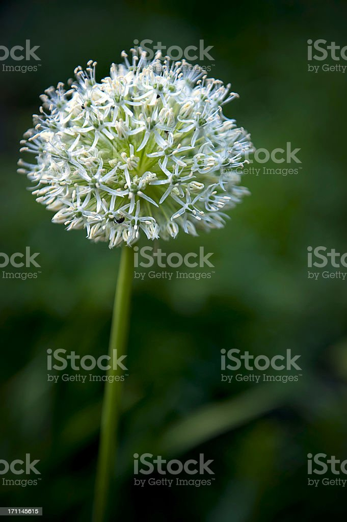 White Allium royalty-free stock photo