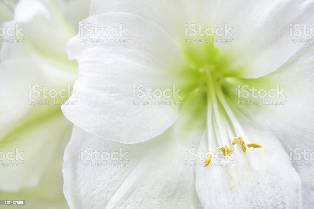 White amaryllis royalty-free stock photo