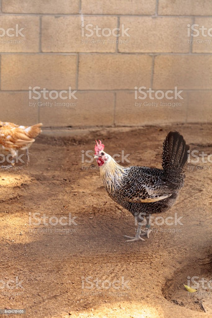 White and black Brahma rooster stock photo