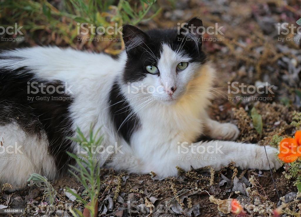 White and Black Cat stock photo