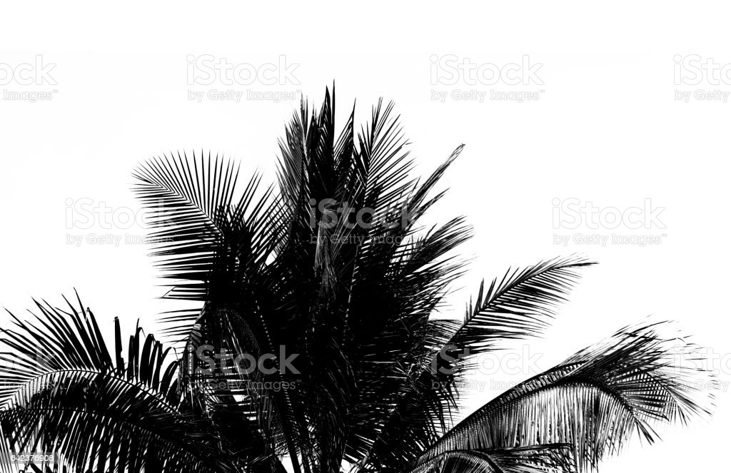 white and black coconut leaf on white background. stock photo