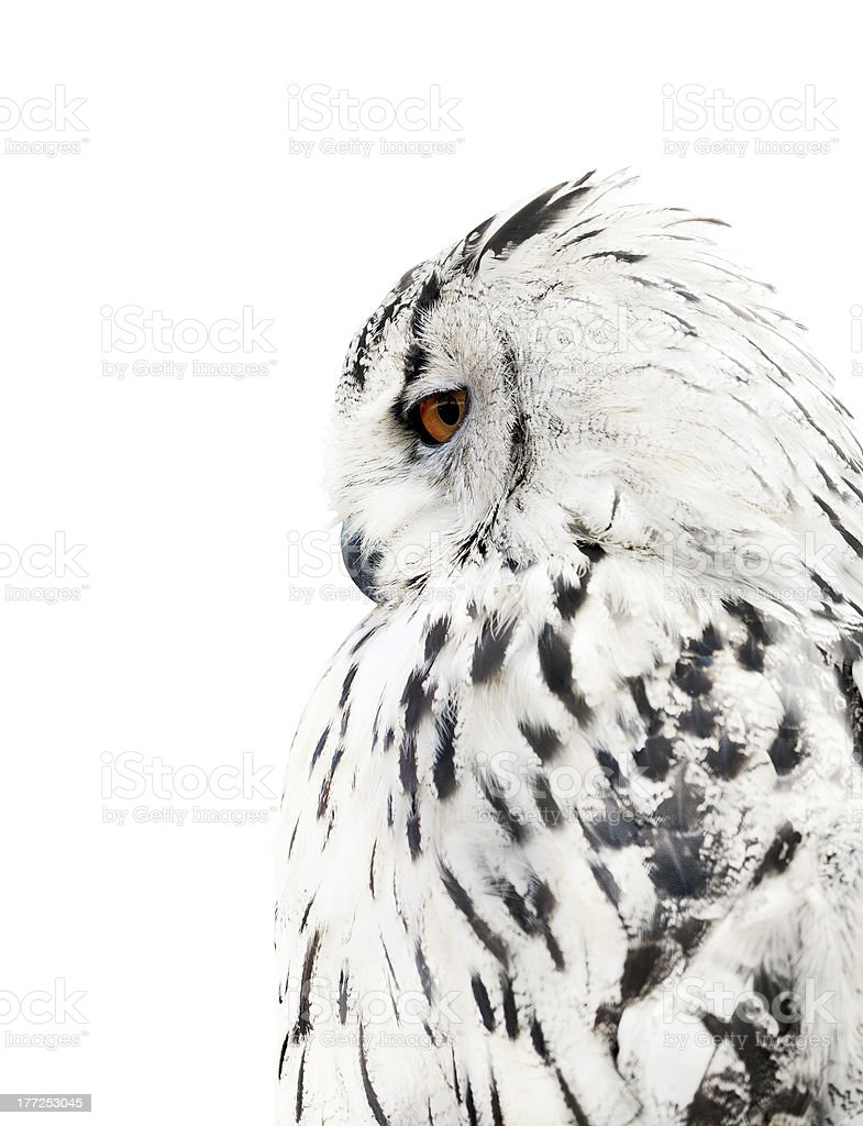 white and black isolated owl stock photo