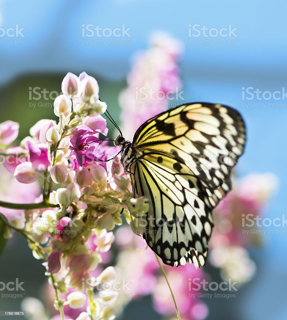 White and black Nymph butterfly on flowers stock photo