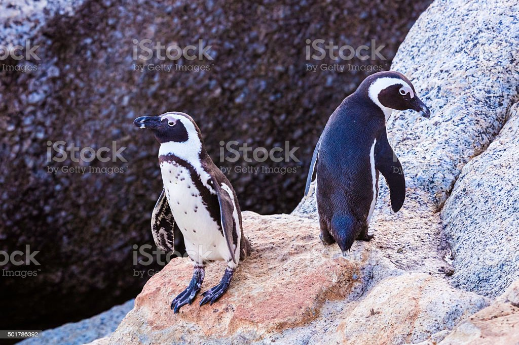 White and Black penguins at boulders beach stock photo