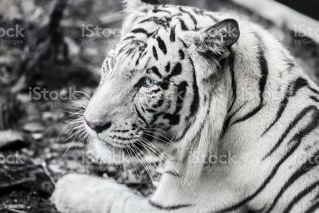 white and black striped tiger with blue eyes stock photo