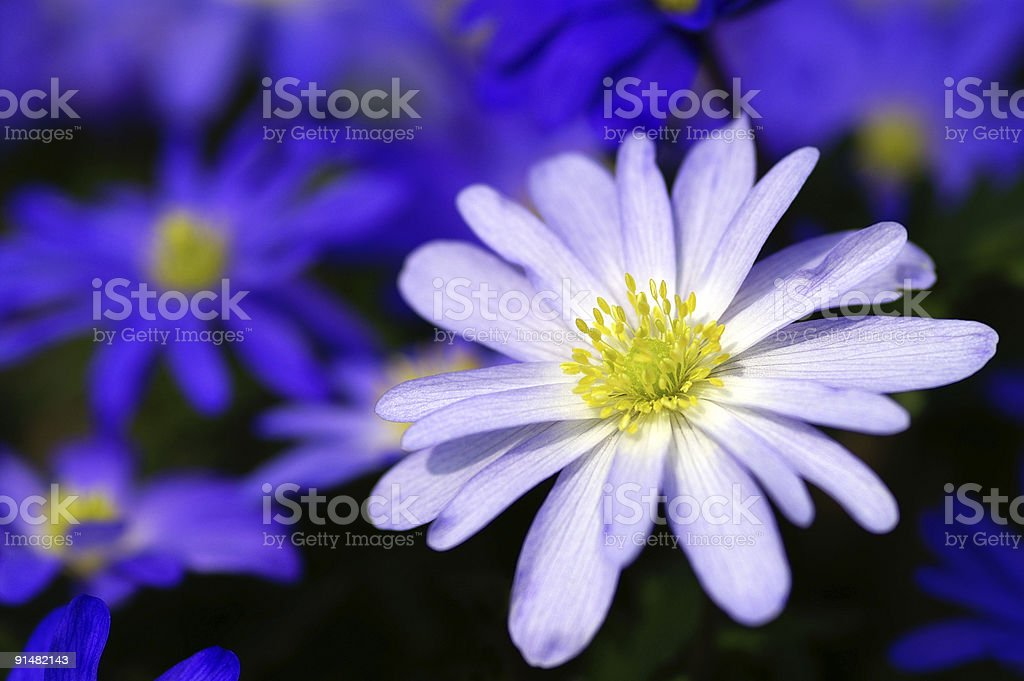 White and blue Anemones royalty-free stock photo