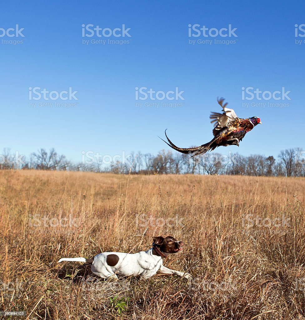 White and brown dog in a field hunting a pheasant stock photo