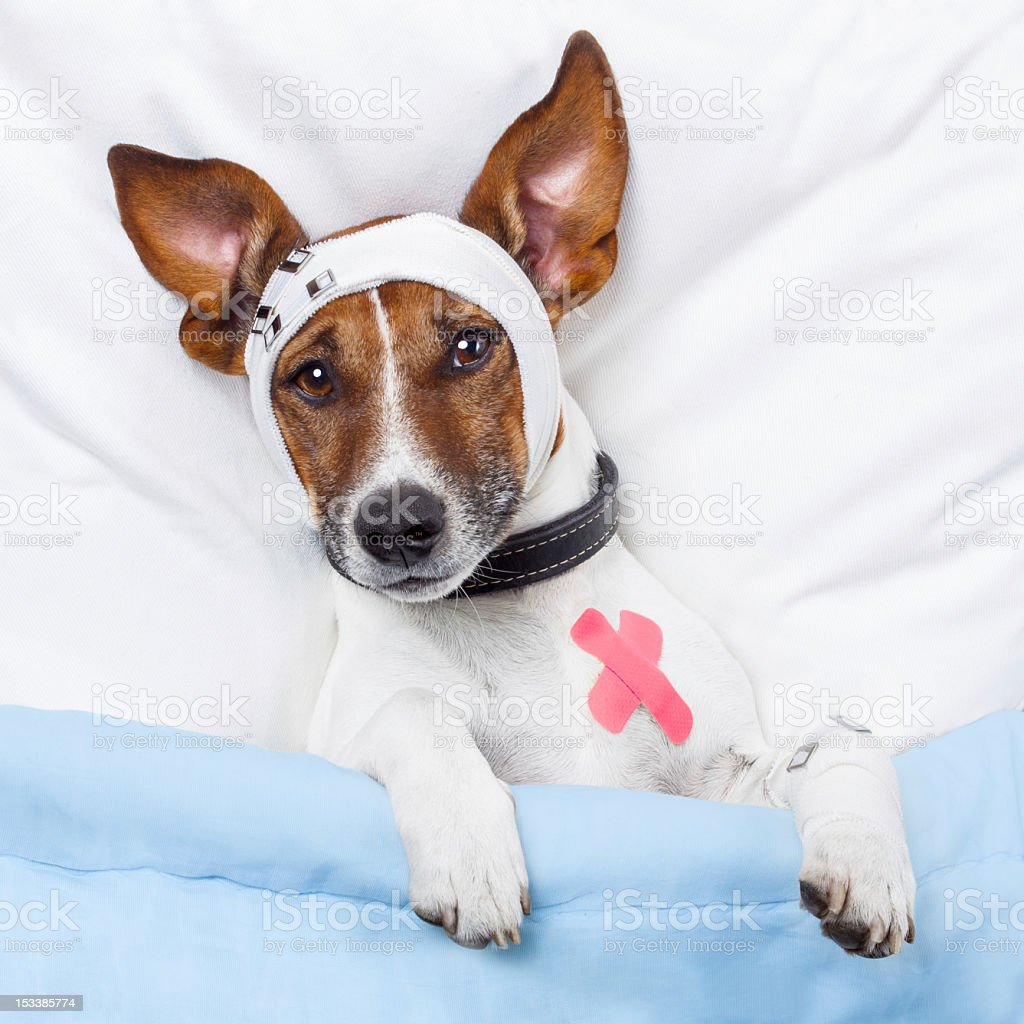 White and brown dog lying on bed with bandages royalty-free stock photo