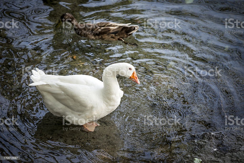 White and brown goose in river water stock photo