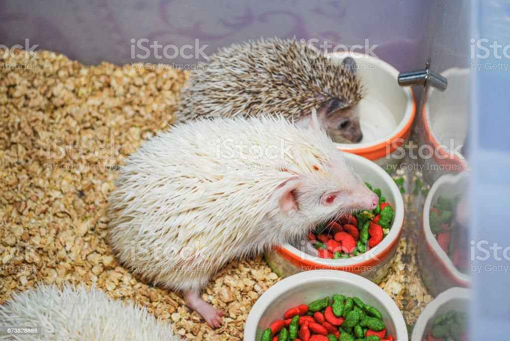 White and Brown Hedgehogs in Plastic Bucket [Atelerix frontalis] stock photo