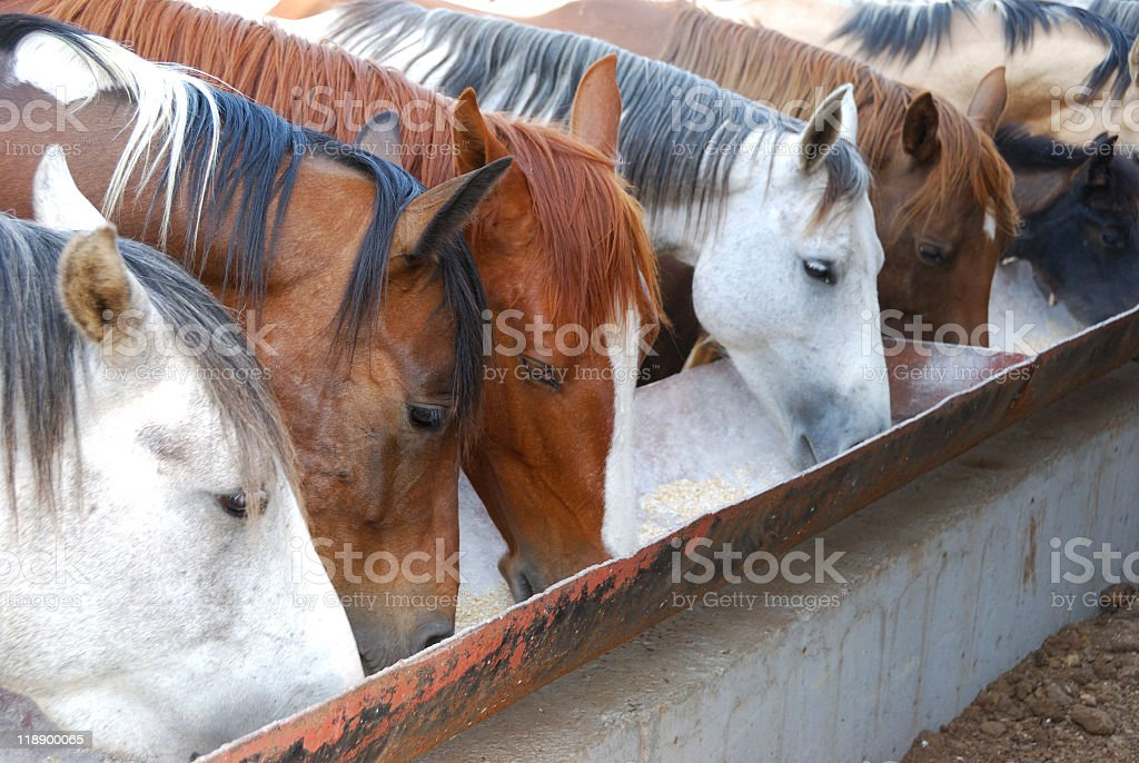 White and brown horses feeding from a trough royalty-free stock photo