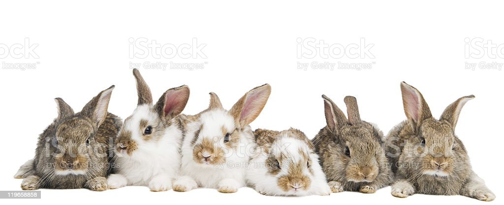 White and brown rabbits in a row stock photo
