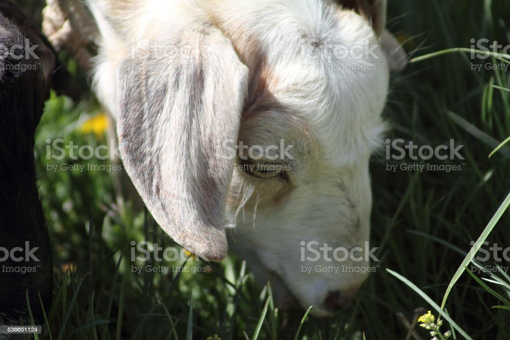 White and cream colored goat's head, eating grass stock photo