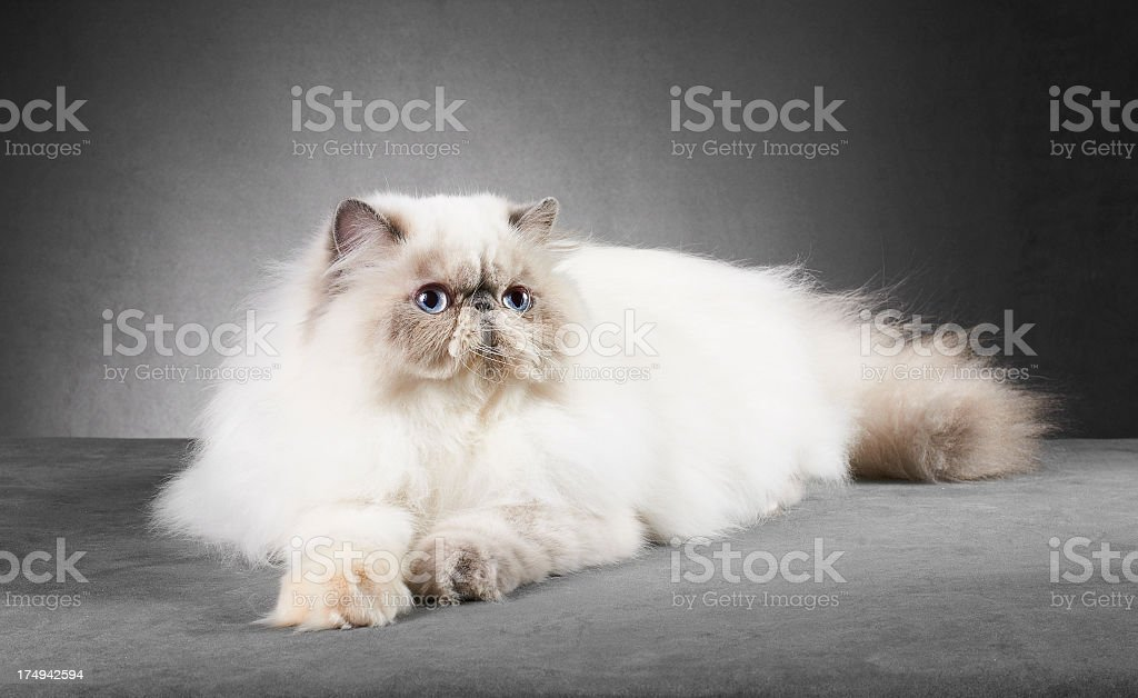 White and cream persian cat royalty-free stock photo