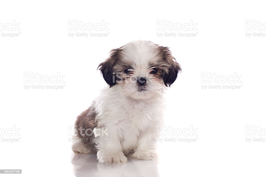 White and gray puppy with black and gray ears stock photo