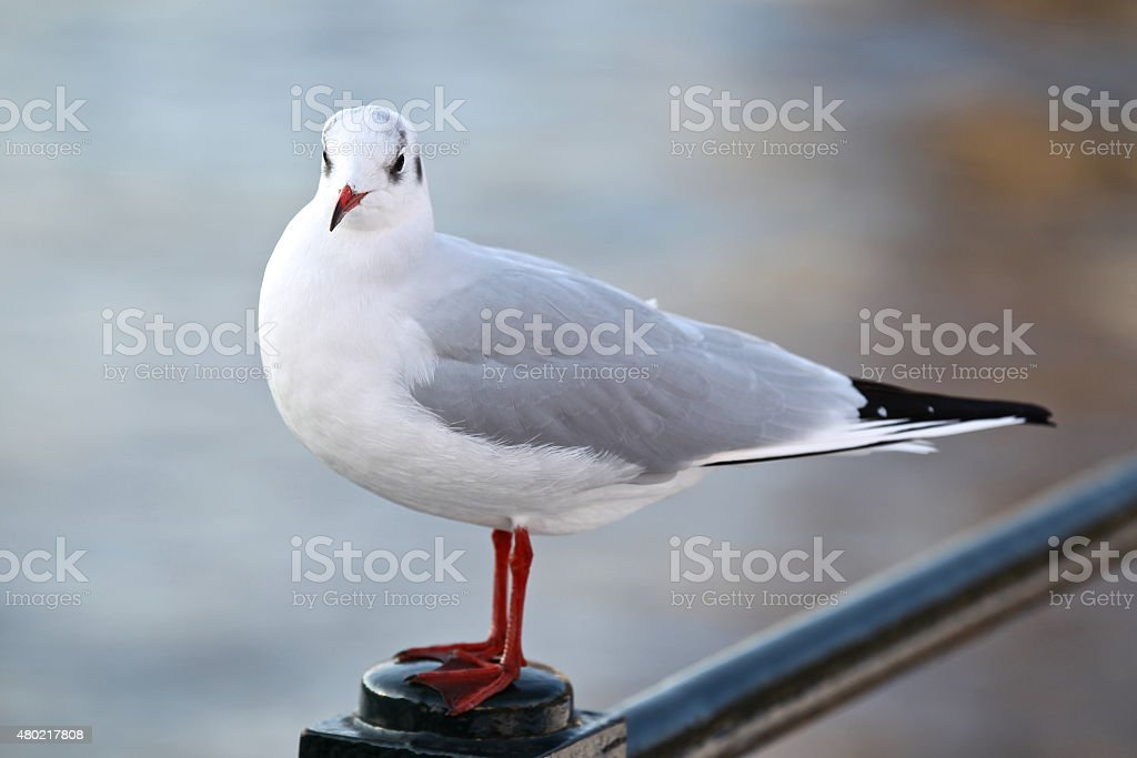 white and gray urban pigeon stock photo